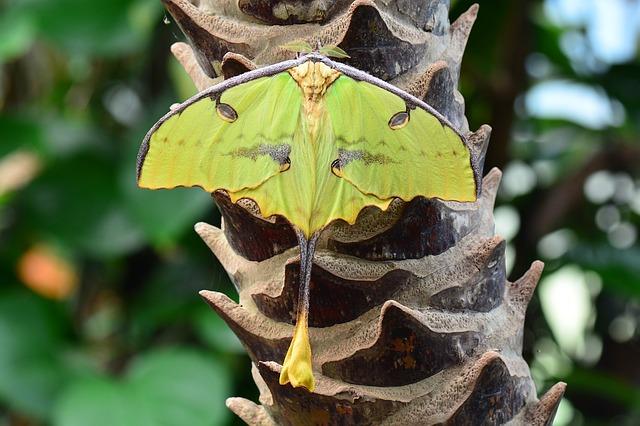 madagascar-moon-moth-1310714_640